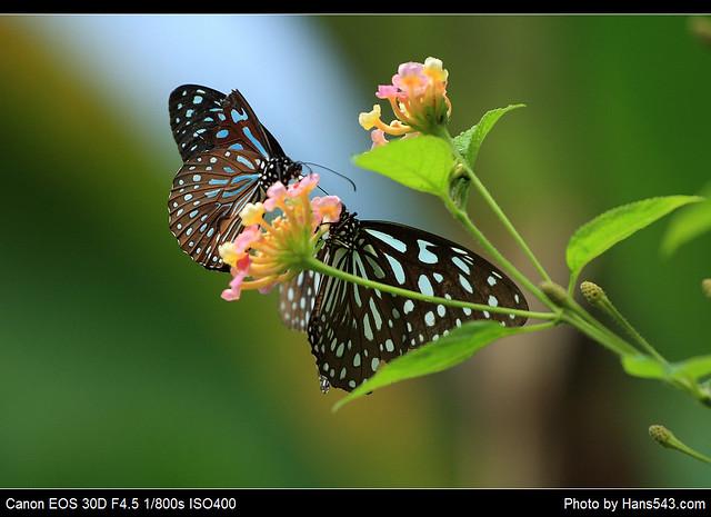 蝴蝶_Butterfly_14