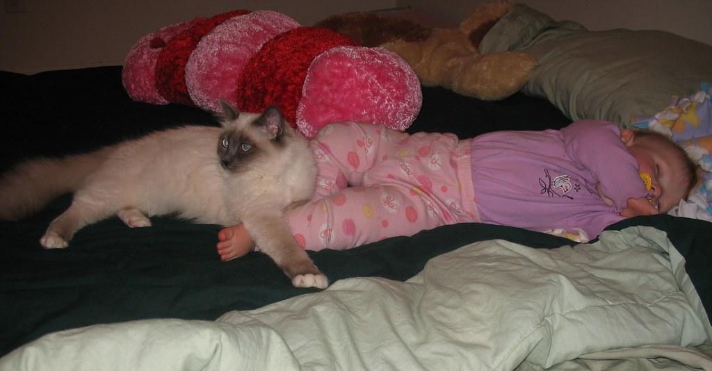Essie Protecting her Sleeping human sister...Read more about the SACRED CAT OF BURMA
