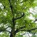 Black Walnut [Juglans nigra]