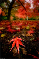 Muddy Knees (andrewwdavies) Tags: autumn trees red green fall wet leaves rain weather geotagged gold maple colours dof angle mud bokeh low wide arboretum gloucestershire explore westonbirt acer handheld shallow onsale circular lowangle polariser canonefs1022mmf3545usm autumntints tetbury explored polarisingfilter muddyknees eosexperience canoneos40d andrewwilliamdavies geo:lat=51607637 geo:lon=2220059