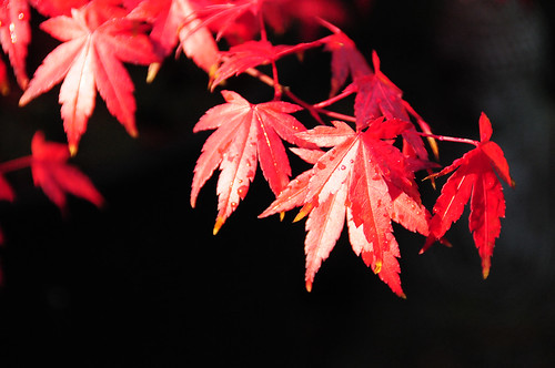 Japanese Mountain Maple Bonsai Tree Leaves (Acer palmatum), Red Autumn /Fall Colours