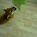 柴犬:Shiba Inu Hiro 浩 ? Video 3