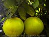 Farm Fresh Grapefruits (phil_sidenstricker) Tags: nature naturallight produce grapefruits donotcopy valleyofthesunphoenixmetro upcoming:event=981998 southmountainfarmphoenixazusa