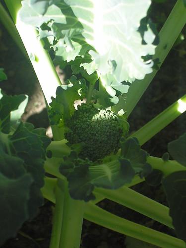 Baby Brocolli