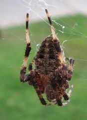 Spotted orbweaver (Anita363) Tags: fauna female spider newjersey arachnid nj august highlandpark dorsal orbweaver araneae araneidae neoscona araneomorphae spottedorbweaver entelegynes neosconadomicilorum