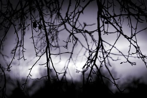 crabapple tree 3