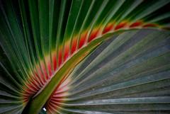 Burning / In fiamme (Giorgio Ghezzi) Tags: red plant verde green nature leaf natura palm foglia palma rosso pianta naturelovers abigfave anawesomeshot brillianteyejewel overtheexcellence damniwishidtakenthat