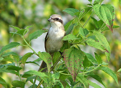 Long Tailed Shrike (wildxplorer) Tags: india bird birding karnataka mangalore ullal laniusschach longtailedshrike wildxplorer