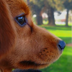 contemplative (Darwin Bell) Tags: dog pet macro closeup puppy profile olive naturesfinest 500x500 colorphotoaward impressedbeauty aplusphoto karmanominated flickrdiamond msh0909 msh090917 mygearandmepremium