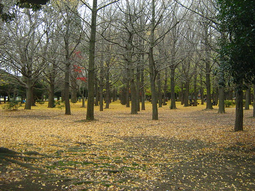 Golden leaves of ginko trees in Yoyogi Park