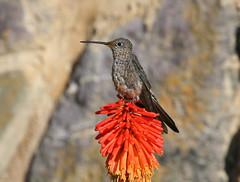 Giant Hummingbird - Patagona gigas peruviana