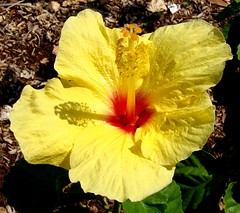 An Hibiscus for Victoria Kawekiui Lunalilo Kalaninuiahilapalapa Ka'iulani Cleghorn, O'ahu, Hawai'i, USA (Rana Pipiens) Tags: fab usa yellow hawaii washingtondc waikiki oahu surfing hibiscus soe peacocks kidnapped robertlouisstevenson naturesfinest benjaminharrison scottishthistle bej masterphotos diamondclassphotographer flickrdiamond ishflickr goldstaraward victoriakawekiuilunalilokalaninuiahilapalapakaiulanicleghorn inahau thepeacockprincess alaiaboard