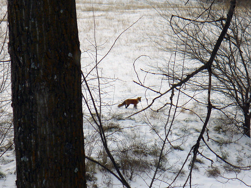 2008-12-17 - Fox on Pond - 0001