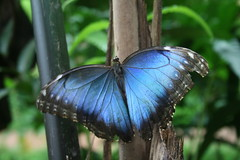 Beautiful Irradescent Blue Butterfly