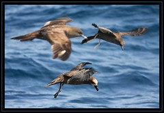 A cluster of petrels (Tobias Hayashi Photography) Tags: ocean sea birds feeding australia busy nsw fullframe poses complete foreground wollongong wedgetailedshearwater petrel shearwaters sigma50500mmf463 avianexcellence canoneos40d procellariformes greatwingedpetrel februarywollongongpelagic pterodromamacropteragouldi ardennapacificus