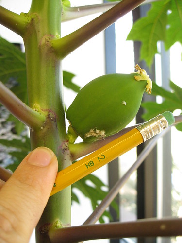 Papaya fruit keeps getting bigger