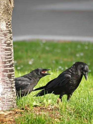 Juvenile Crow