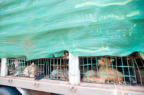 A lorry along Rte 8 in Laos transporting dogs for meat from Thailand to Vietnam