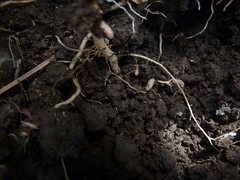 rood nodule of Indigofera hendecaphylla (Winphone2010) Tags: root nodules nodule indigofera hendecaphylla