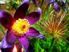 "Springtime splendour  ""Quinta-Flower"" (peggyhr) Tags: friends white canada green yellow spring edmonton purple sunny alberta harmony mauve quintaflower pasqueflower musictomyeyes photohobby thegalaxy 25faves peggyhr flickrbronzeaward heartawards peaceawards 100commentgroup thelightpainterssociety doubledragonawards keepyoureyesopenayezloeil gusgarden flickrsgottalent mygearandme lomejordemisamigos avpa1maingroup chariotsofartists level1photographyforrecreation blinkagainforinterestingimages p1310365a"