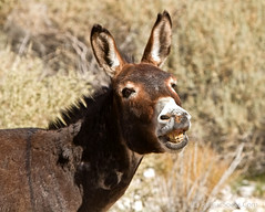 Wild-Burro-braying-in-Red-Rock-Canyon-national-conservation-area-Nevada-011.jpg (RogueSocks) Tags: redrockcanyon usa weather animal day desert lasvegas nevada donkey sunny clear burro jackass nevadadesert bluediamond bonniesprings wilddonkey braying timeofday wildburro springmountainranchstatepark nevadastatepark nevadausa redrockcanyonnevada redrockcanyonlasvegas redrockburro redrockcanyonvegas nevadawildburro wildjackass