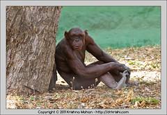 Hairless Chimpanzee at Mysore  Zoo (drkrishi) Tags: india zoo asia pan karnataka hairless mysore mammalia guru primates pantroglodytes chordata hominidae mysorezoo commonchimpanzee robustchimpanzee srichamarajendrazoologicalgardens troglodytesniger drkrishi drkrishicom panniger simiatroglodytestroglodytestroglodytes alpeciauniversalis hairlesschimp