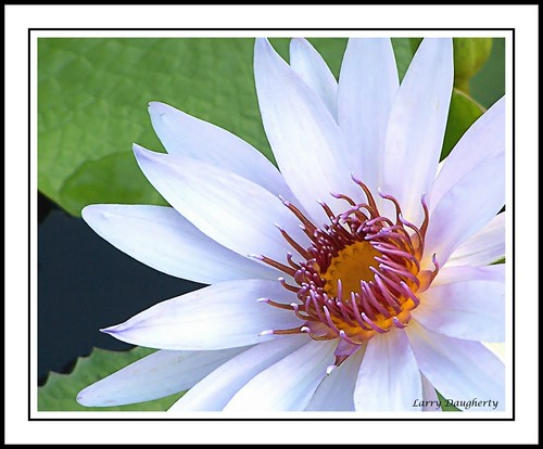 White Water Lily at the Botanical Garden