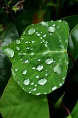 Water Drops (Sick-N-Tired) Tags: green leave water canon eos 350d rebel xt photo drops tea documentary diamondclassphotographer goldstaraward