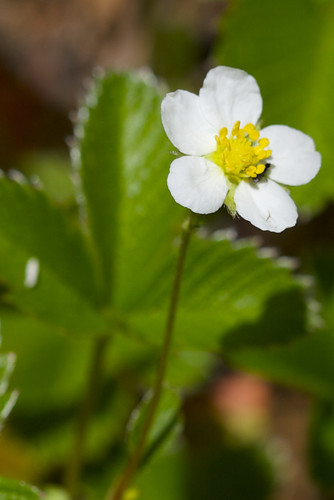 Mountain Strawberry Like Flower