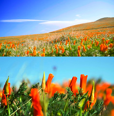 A field of California poppies - diptych (imago2007 (BUSY)) Tags: california friends orange nature canon photography virginia spring diptych bravo flickr lancaster rebelxt antelopevalley poppyfields californiapoppies merlysunflower 8simplerules abigfave the99 pinoykodakero theperfectphotographer imago2007 zeetz