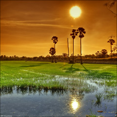 A paddy field . . (grantthai) Tags: sunset field thailand rice paddy thai handheld hdr d300 5xp grantthai grantcameron