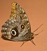 Papillon de nuit (Luc Deveault) Tags: canada butterfly insect quebec montreal papillon québec luc insecte photosafarimtl deveault animauxqc psm160308 lucdeveault