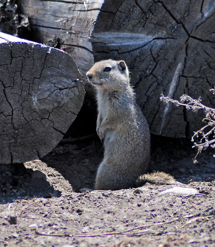 Ground Squirrel