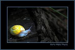 Gardien de nuit... ( P-A) Tags: zen escargot antenne coloré lent filtre parcdelagatineau digifoto observateur limasse nikond300 photoquebec lysdor pierreandrésimard