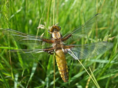 Broad-bodied Chaser (ukstormchaser (A.k.a The Bug Whisperer)) Tags: uk macro nature animals insect dragonflies dragonfly wildlife insects milton keynes broadbodied