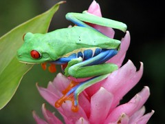 Red Eyed Tree Frog by Care_SMC, on Flickr