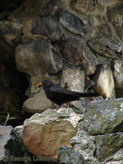Blackbird (K_Liff) Tags: bird castle ukraine turdusmerula blackbird passeriformes turdidae muscicapidae zakarpattia nevicke