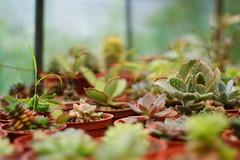 DSC02496 (ddsnet) Tags: plant succulent sony hsinchu taiwan 350      sinpu hsinpu   350
