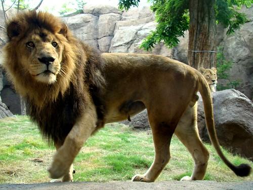 ライオン 無料写真素材