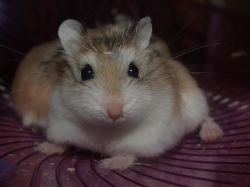 So, so, so, so CUTE! by roborovski hamsters.