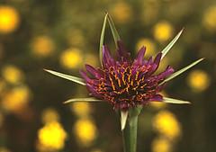 Sin-título. (=Raul=) Tags: flor picturesque smörgåsbord naturesfinest golddragon platinumphoto anawesomeshot goldstaraward oléquebonito