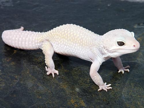 Blazing Blizzard leo gecko
