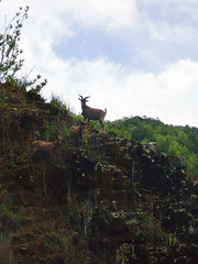 goats (Nonopahu Village, Hawaii, United States) Photo
