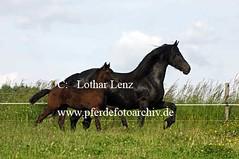 _le13312kopie (Lothar Lenz) Tags: fohlen friese stute friesengesttmarienhof