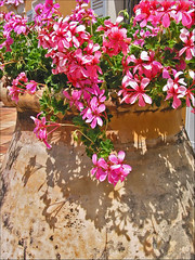 Grasse Geraniums (canong2fan) Tags: pink shadow france texture geotagged grasse pot provence geranium picturesque canong2