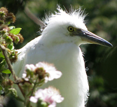 (thesanityproject) Tags: birds animal hair snowy salt beak alcatraz majestic egret scientist fuzz snowyegret frizz ggnra