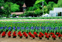 DS1_3472 (Mark.Weiching) Tags: japan hokkaido tiltshift   farmtomita nakafuranocho pcmicronikkor85mmf28d