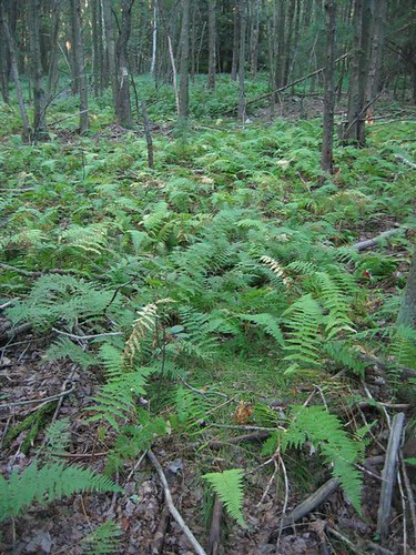 Ferns form the floor of the forest