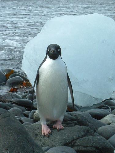 Pingüino Adelie, Isla de San Jorge