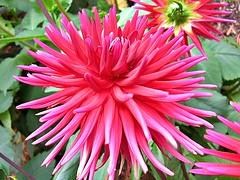 Pink cactus dahlia (mamietherese1) Tags: pink dahlia flowermacro